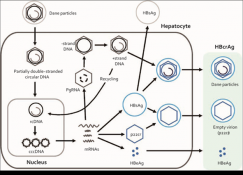 Gía trị của HBcrAg trong chẩn đoán - theo dõi và tiên lượng viêm gan siêu vi B